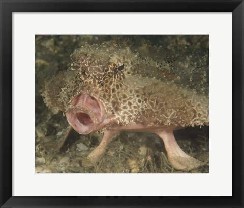 Framed Batfish close-up, West Palm Beach, Florida Print