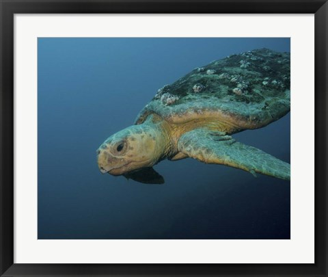 Framed Loggerhead Sea Turtle off the coast of North Carolina Print
