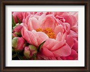 Coral Peonies I