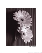 Fresh Cut Gerbera Daisy I