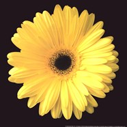 Gerbera Diasy Yellow