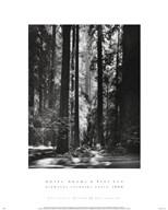Redwoods, Founders Grove  Fine-Art Print