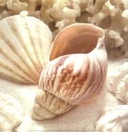 Coral Shell II  Fine-Art Print
