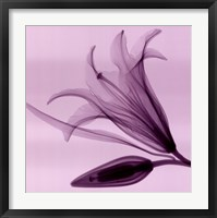 Lily Bud Framed Print