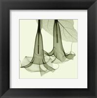 Framed Datura
