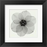 Framed Daffodil #2