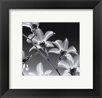 Orchid Denrobium Framed Print