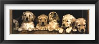 Framed Golden Retriever Puppies