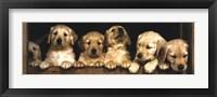 Framed Golden Retriever Puppies