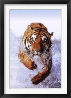 Framed Tiger Running Through Water