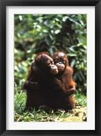 Framed Orangutans