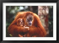 Framed Orangutan And Baby