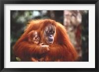Framed Orangutan And Baby