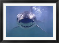 Framed Great White Shark Smiling