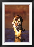 Framed Tiger Walking