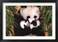 Framed Panda Mother And Baby