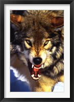 Framed Grey Wolf - Close-Up