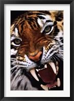 Framed Bengal Tiger Close-Up