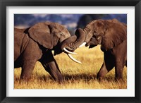 Framed African Elephants Sparring