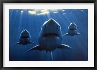 Framed Sharks