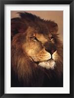 Framed African Lion