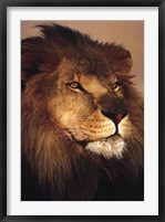 Framed African Lion