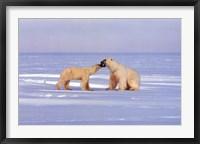 Framed Polar Bear Courting