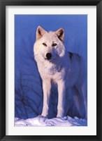 Framed Montana Wolf