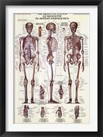 Framed Skeletal System