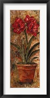 Framed Liberty Amaryllis