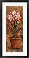 Framed Rainbow Amaryllis