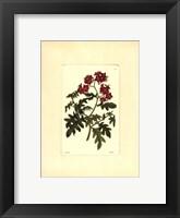 Framed Red Curtis Botanical III