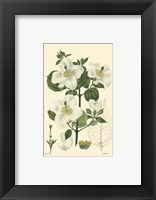 White Curtis Botanical III Framed Print