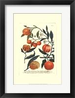 Framed Fruits III
