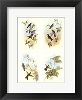 Framed Miniature Gould Hummingbirds