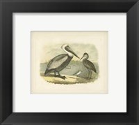 Framed Brown Pelican
