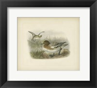 Framed Redcrested Pochard