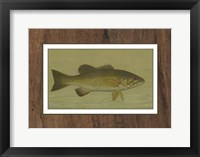 Small-mouthed Black Bass Framed Print