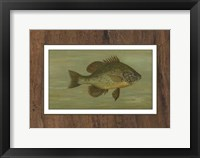 Framed Common Sunfish