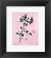 Framed Amaryllis on Pink