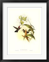Hummingbird IV Framed Print