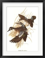 Framed Blue Winged Teal
