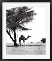 Framed Camel and Tree, Desert of Mauritania