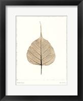 Framed India Ficus