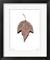 Red Maple Framed Print