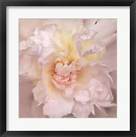 Paeonia Framed Print