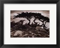 Framed Monterey Cypress