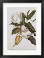 Framed Magnolia Altissima