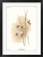 Framed Vanda Hookeriana