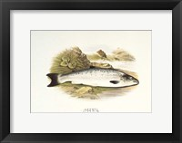 Framed Grilse or Young Salmon